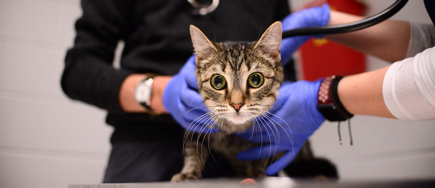A feline patient at our recent Martin Luther King, Jr. Day of Service event that is in its 12th year at Penn Vet.