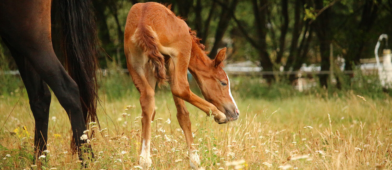 From December to August, breeding and foaling season, Dr. Michelle Abraham has her hands full with pregnant mares and foals.