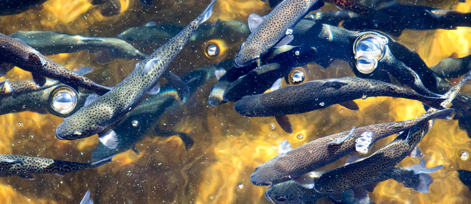 J. Oriol Sunyer of Penn's School of Veterinary Medicine has made transformational scientific insights using a very different creature: rainbow trout.