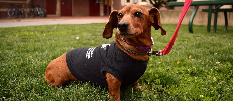 Peaches, a shelter dog benefiting from the Penn Vet Shelter Canine Mammary Tumor Program.