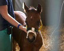 New Bolton Center NICU foal