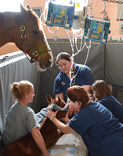 Nurse instructs students while caring for a critically ill foal in the NICU.