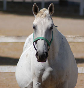pregnant mare for Hoffman