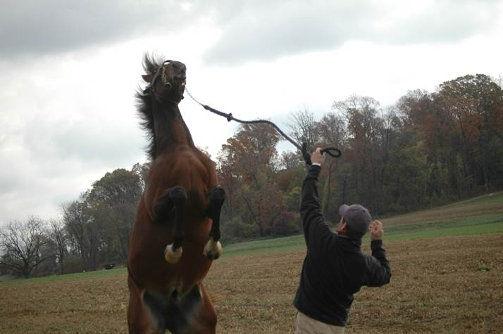 Equine Behavior-Stallion Handling