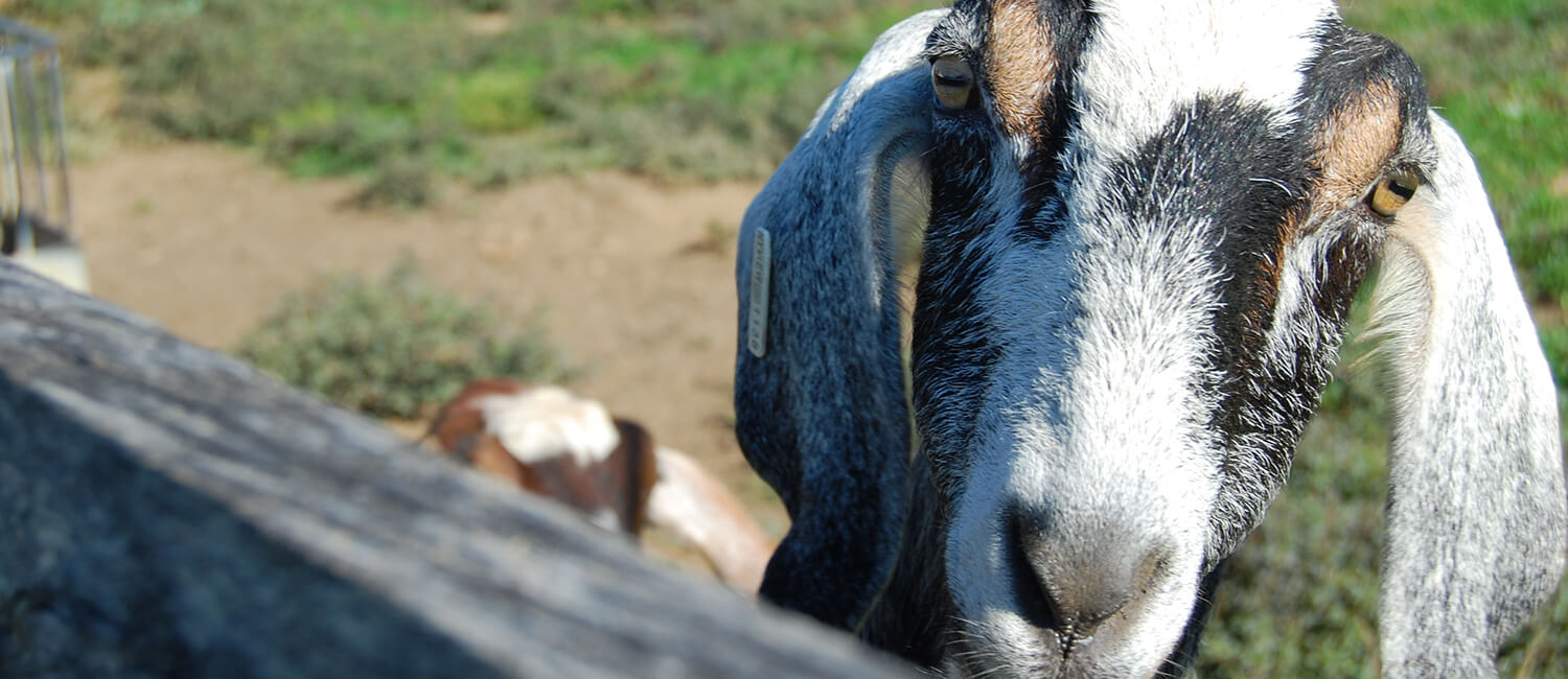 New Bolton Center's Field Service treats small ruminants like goats and sheep.