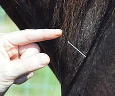 Equine acupuncture, New Bolton Center