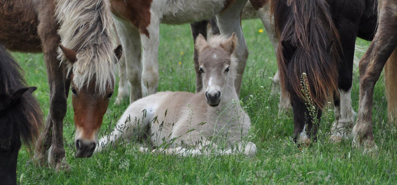Semi-feral pony herd, New Bolton Center
