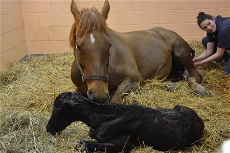 New Bolton Center Healthy Mare Foaling Program