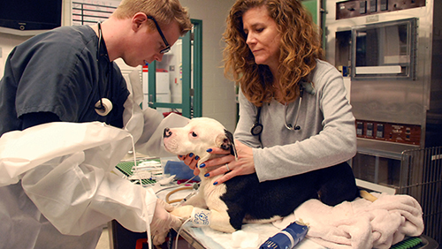 A dog is treated through Penn Vet's Shelter Dog Specialty Medical Treatment Project