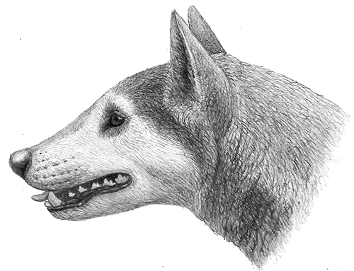"Illustration of Cynarctus by Mauricio Antón from ""Dogs, Their Fossil Relatives and Evolutionary History."""