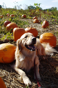 Frankie in the pumpkin patch