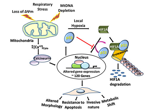 Mitochondrial stress induces expression of nearly 120 genes involved in cell metabolism.