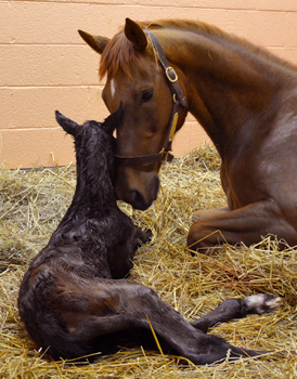 My Special Girl and colt, Penn Vet, New Bolton Center, Foal Cam