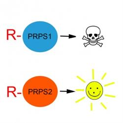 PRPS1 and PRPS2 are nearly identical. But an arginine tag flags PRPS1 for degradation, while PRPS2 survives the process.