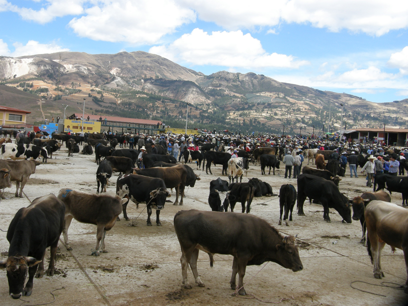 Characterized by small farms, Peru's Cajamarca is one of the country's major dairy-producing regions.
