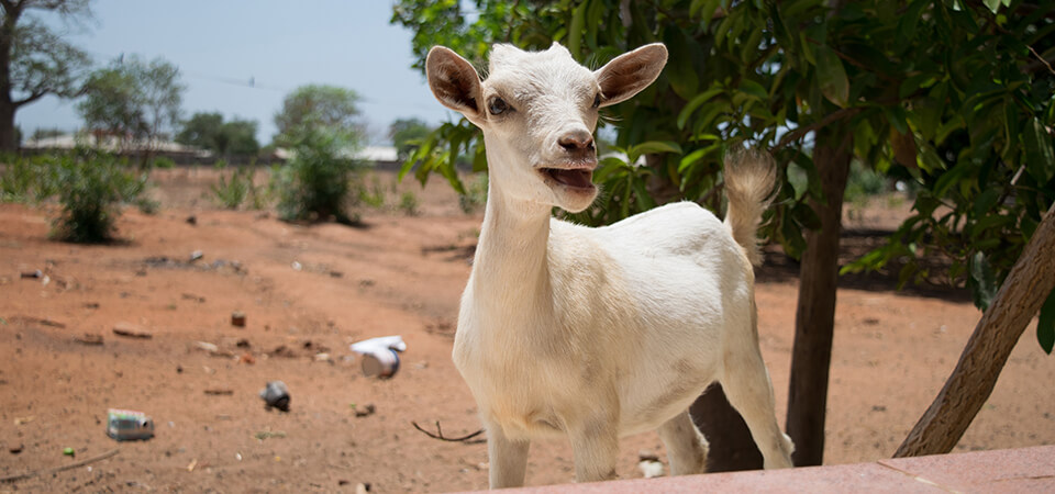 Penn Vet students spent ten weeks in The Gambia, West Africa, conducting research to determine the feasibility and sustainability of developing a goat dairy.