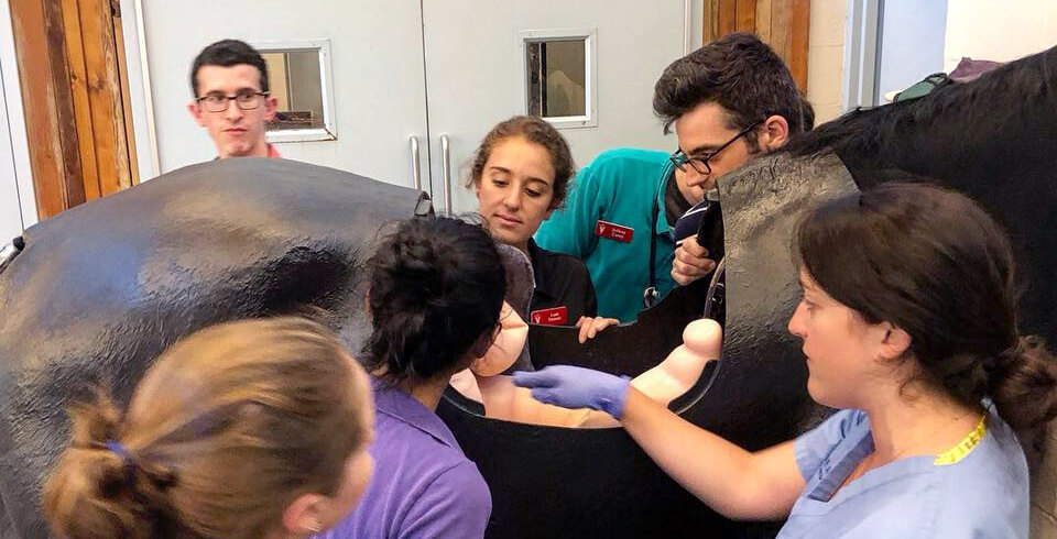 At New Bolton Center, students participate in a palpation lab, feeling for abnormalities in the intestinal tract of a full-body horse simulation model.