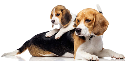 PV CE Canine Breeders Symposium 2021-beagles