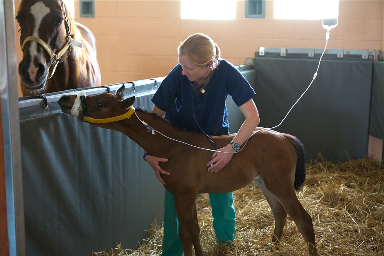 Dr. Michelle Abraham cares for a foal in the Graham French Neonatal Intensive Care Unit.