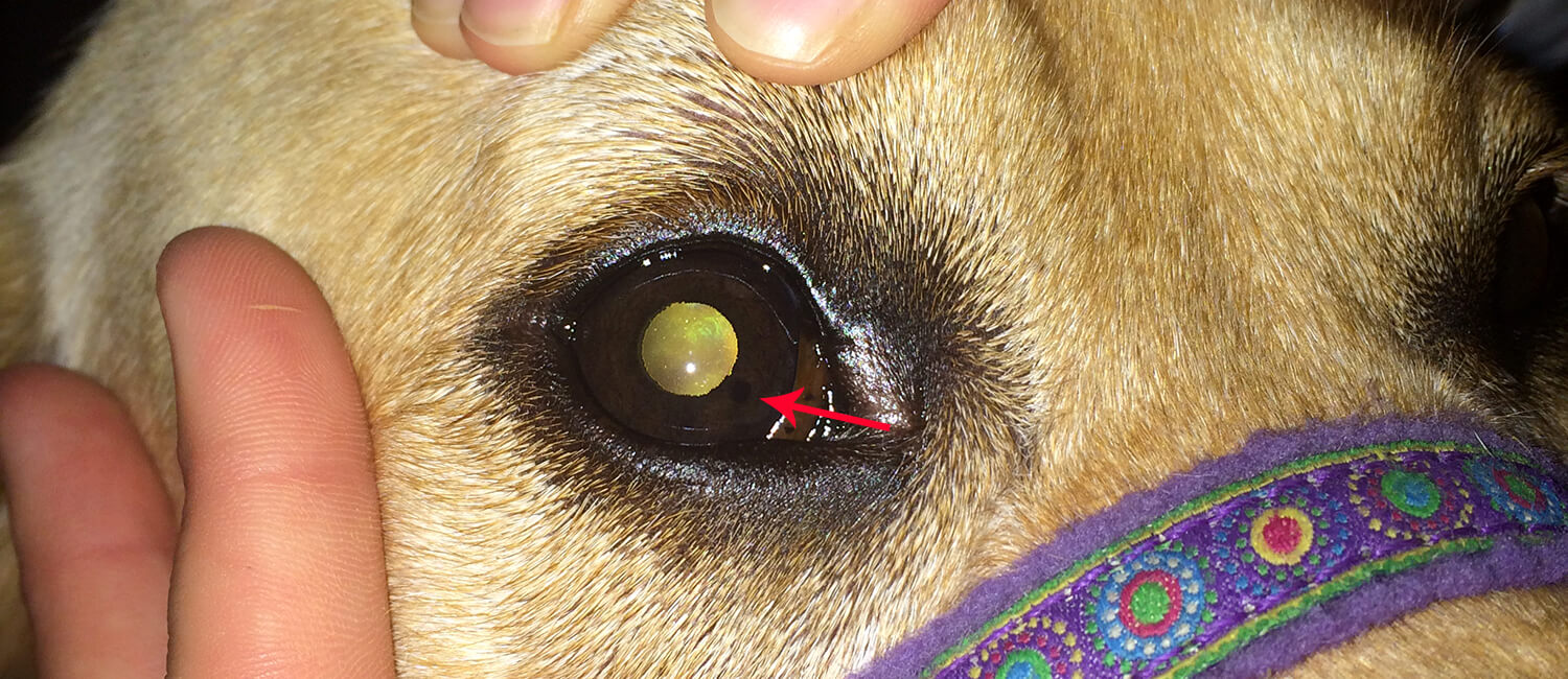 Sheeba's lesion, the black dot at the red arrow, can be seen by the naked eye.