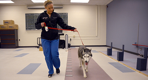 A VCIC tech walks Bai Bai down the GAIT4Dog® Walkway, a rubberized mat with pressure sensors embedded throughout, giving measurement of vertical force.