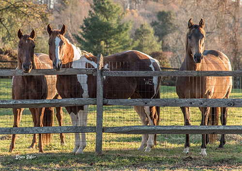 The surrogate mares, Mercy, Peace, and Grace. Photo by Dana Slifer