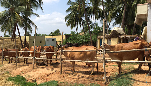 "Yerravu, or ""red cow,"" is a locally developed breed of pride in one of the model villages in Chittoor district, Andhra Pradesh, India."