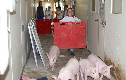 The students help move a group of young pigs, using a board to guide them down the hallway