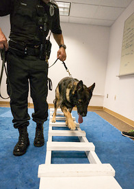 Rocky walks the ladder to practice agility.