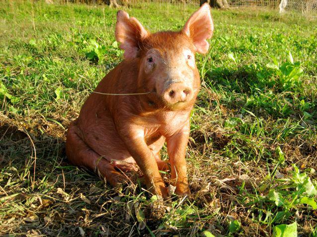 Pennvet Ivy League Pigs Heritage Breeds Shine In Penn Vet