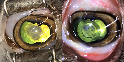 Before and after surgery- the image on the right shows one of Toodles' new lenses.