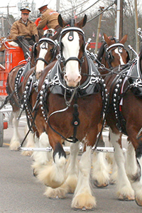 Windsor, Clydesdale