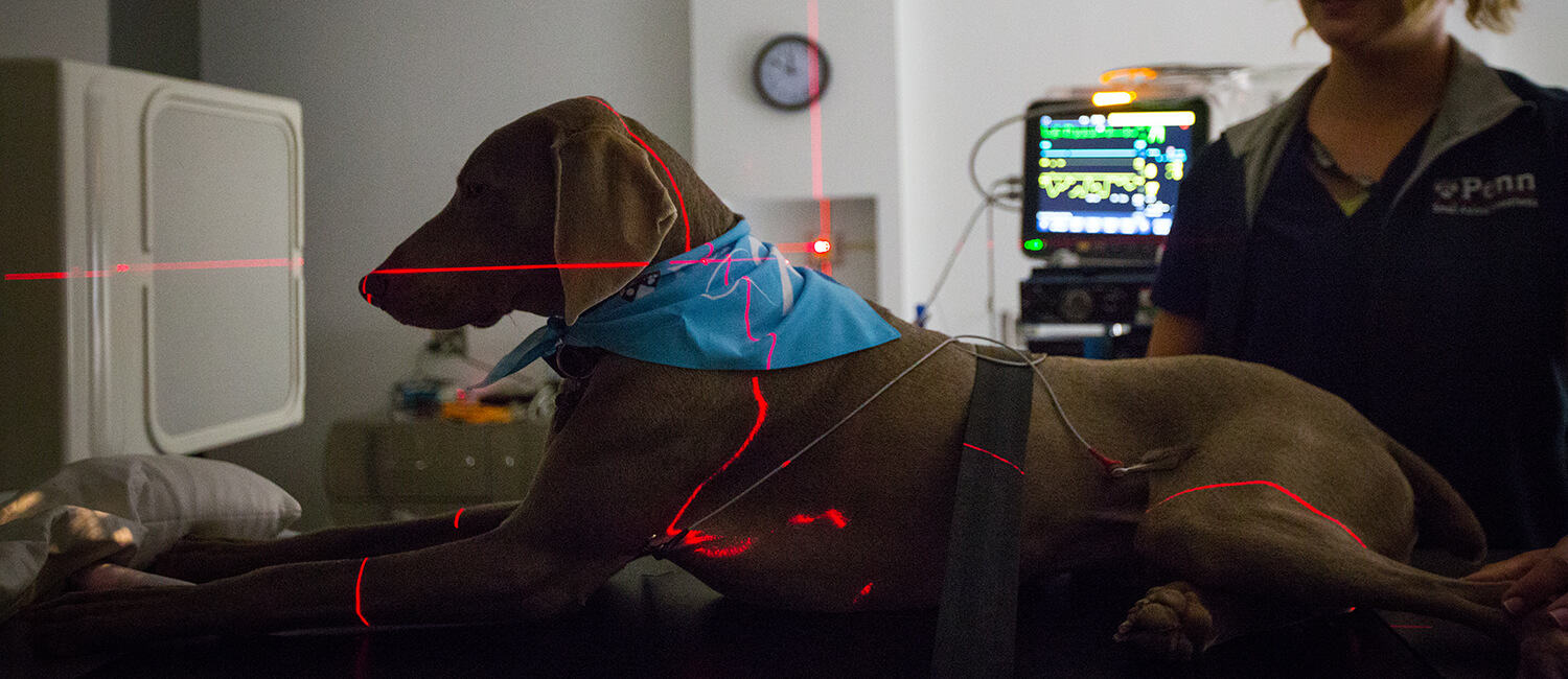 Compassionate cancer care paired with cutting-edge science is the mission at the Penn Vet Cancer Center. Here, Eve Robinson, a certified veterinary technician, soothes Weimaraner William as he lays under positioning lights to guide radiation therapy.