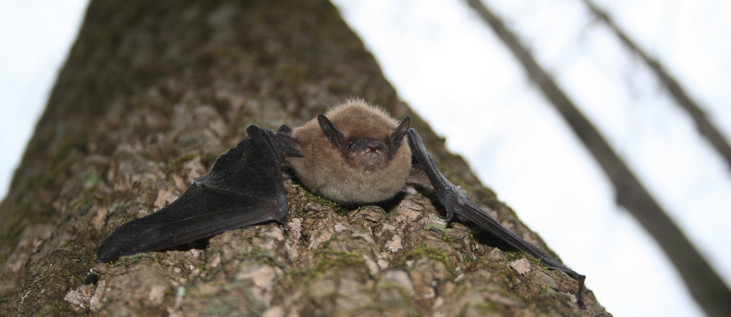 Pennsylvania is home to nine bat species including the big brown bat, pictured here. (Image: Pennsylvania Game Commission)