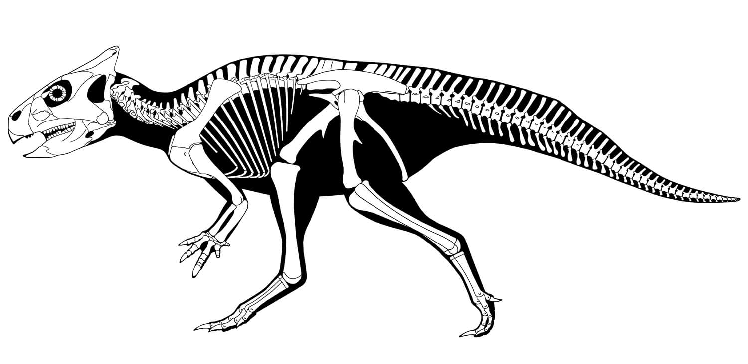 Scientists were fortunate to have a robust set of fossils of Auroraceratops to use to characterize the dinosaur, including near-complete skeletons. More than 80 individuals of the species have been identified since it was initially named 15 years ago. (Illustration: Scott Hartman)