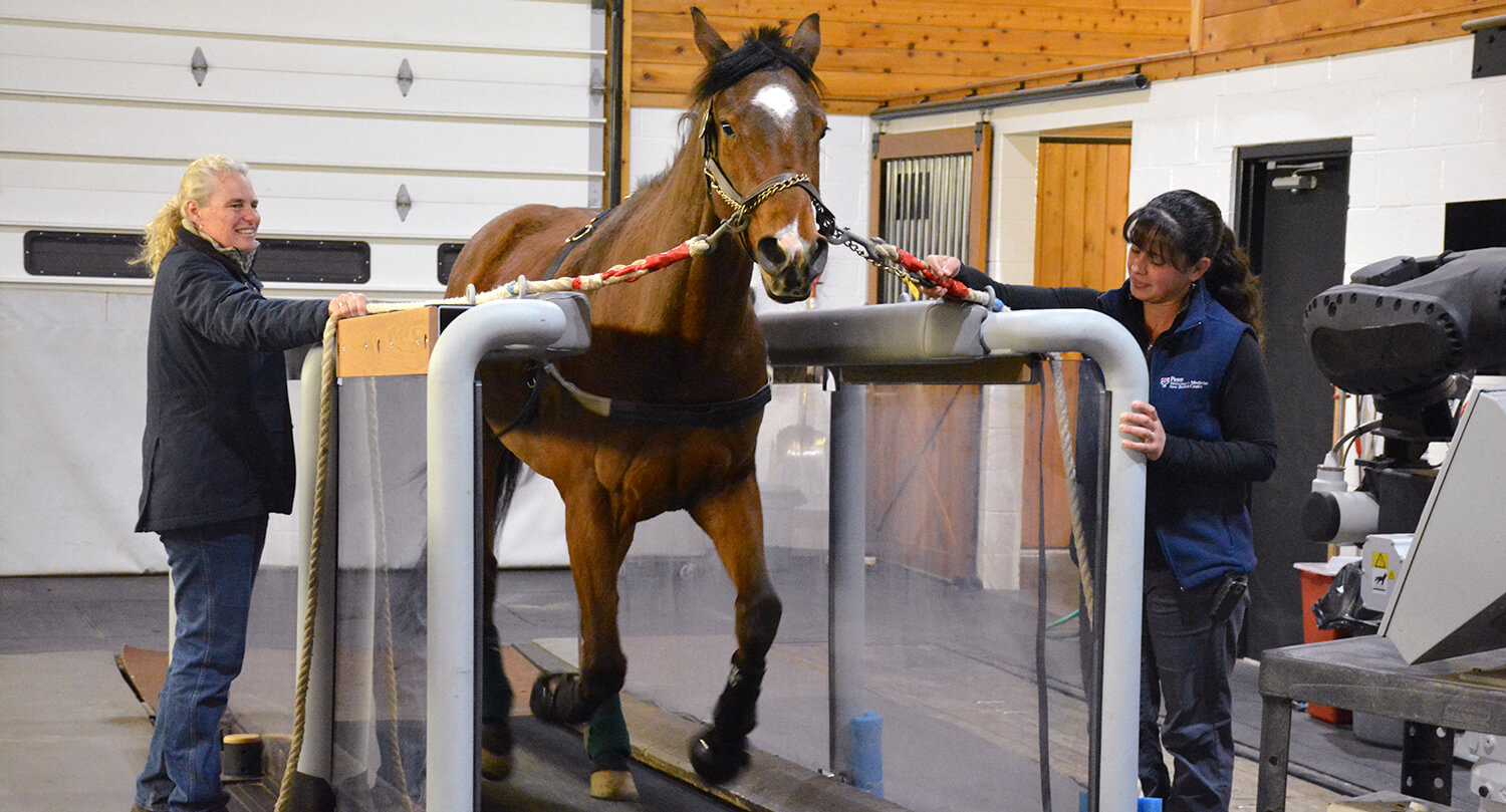 Using New Bolton Center's high-speed horse treadmill and other specialized equipment, the Equine Pharmacology Research Laboratory has been testing the effects of certain drugs in highly fit animals.