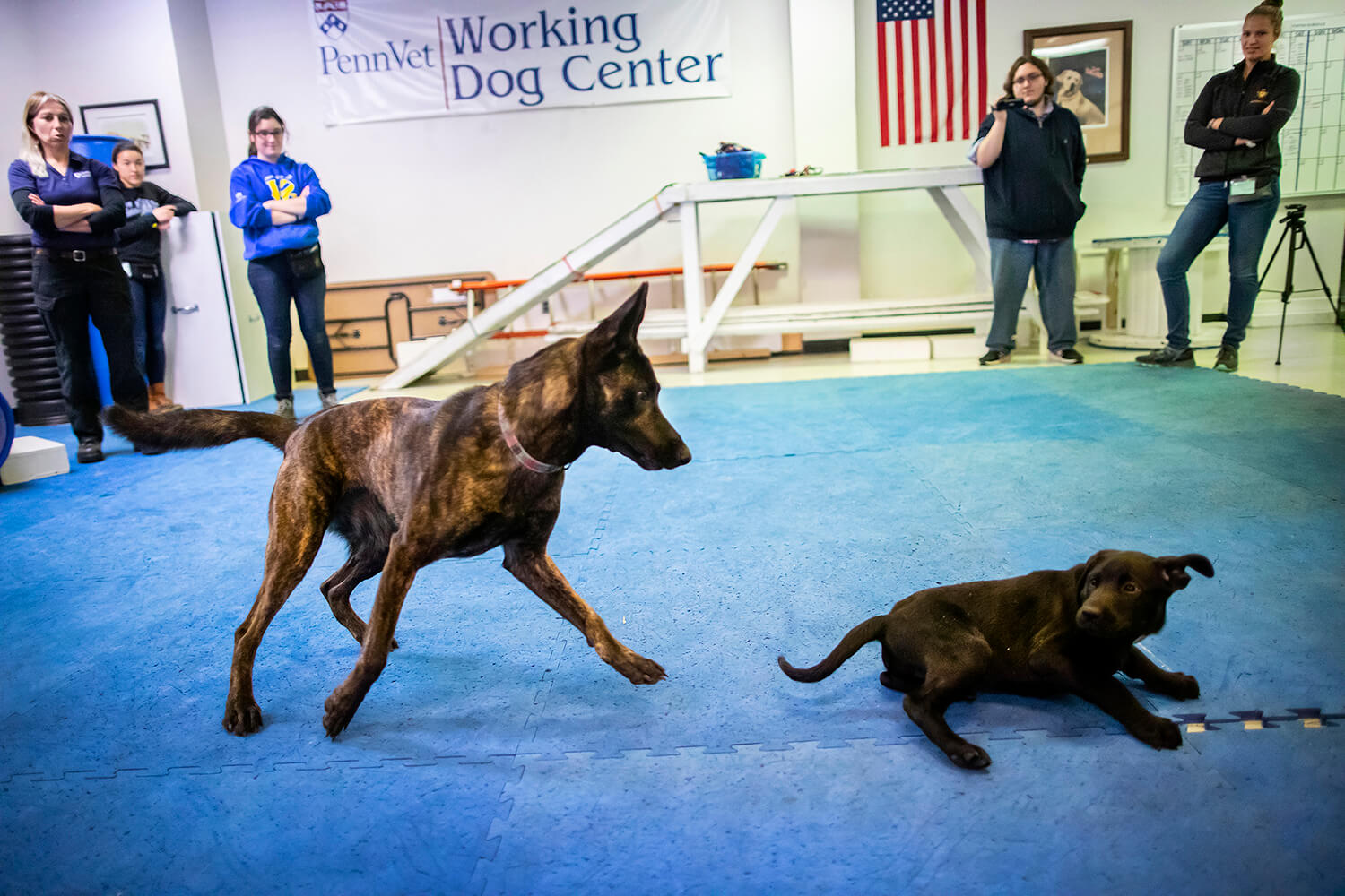 "Though the U litter is graced with excellent pedigree—Pinto and Boomer both work in cadaver detection—they are still puppies with a lot to learn. ""Play dates"" with older dogs, such as Lucy, a Dutch shepherd, teach puppies like Ugo good social skills."