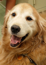 Golden Retriever, Nicola Mason's cancer studies