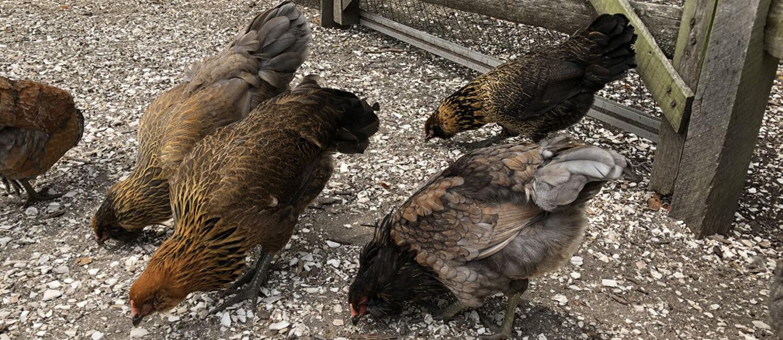 Avian Health