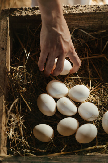 Eggs collected from backyard birds also need special care and attention in order to avoid possible sickness.