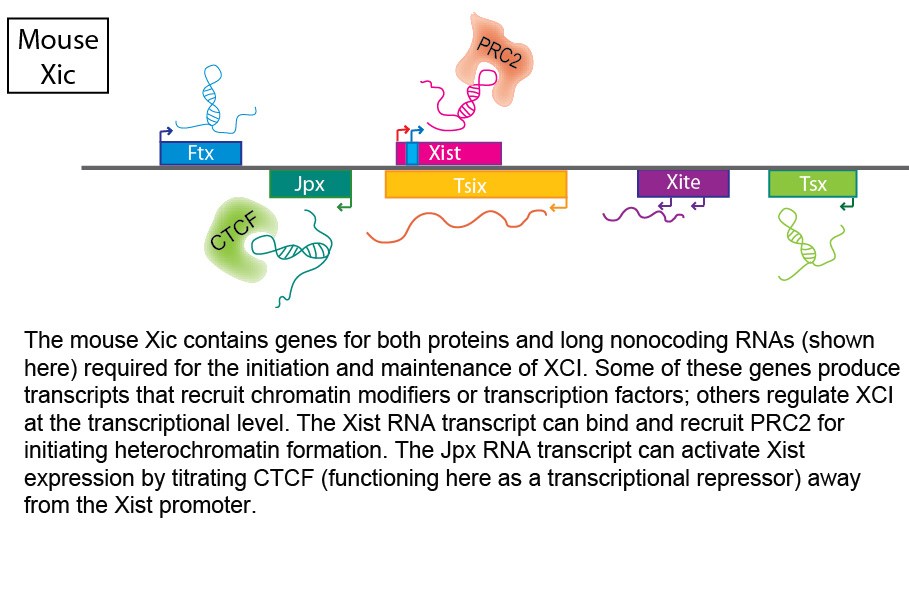 The mouse Xic contains genes for proteins and RNA