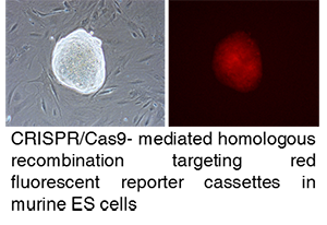transgenesis - targeting of red fluorescent reporter cassettes in murine ES cells copy