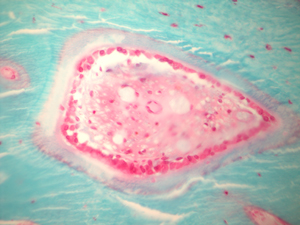 CORL Histology at Penn Vet