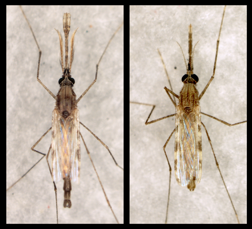 Penn Vet, Anopheles male and female mosquitoes