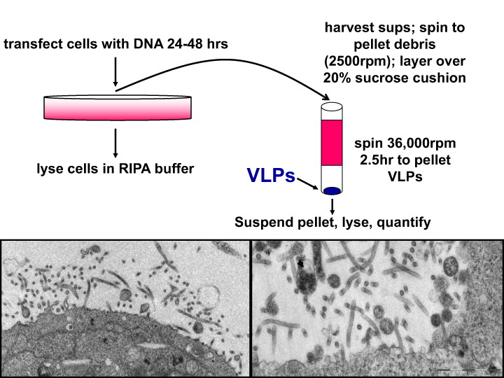 Harty Lab - fig 1