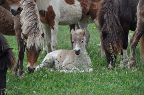 semi-feral ponies, New Bolton Center