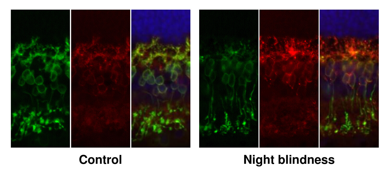 The architecture of the ON-biploar cells, the layer of cells that transmits signals from the photoreceptors cells toward the brain, is distorted in dogs with congenital stationary nightblindness, the researchers found.