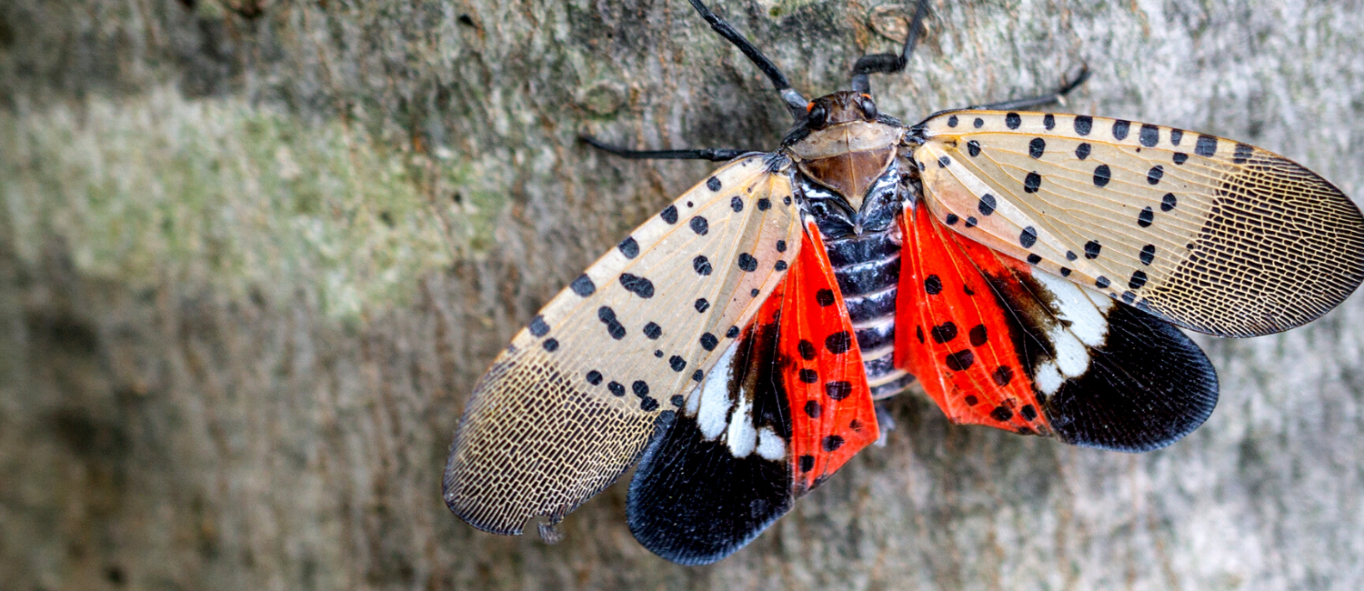 Helping Pennsylvania fight the Spotted Lanternfly