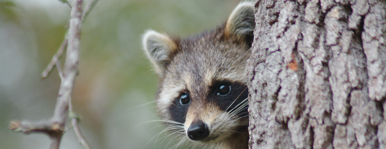 Juvenile Raccoon