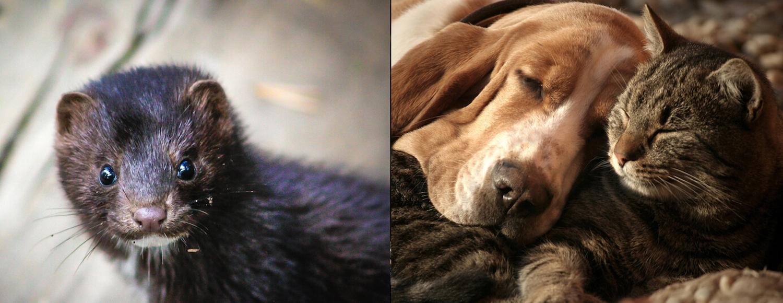 Mink, Bassett Hound and feline companion